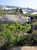Sorbus sitchensis (between Hidden Lake Trailhead and Hidden Lake, North Cascades National Park, Washington)