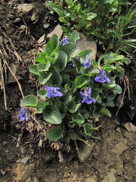 Viola adunca? (between Sauk Mountain trailhead and Sauk Mountain, Mount Baker-Snoqualmie Natonal Forest, Washington)