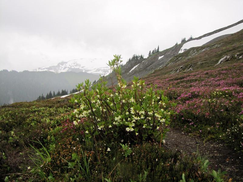 Rhododendron albiflorum (Skyline Divide Trail, near Mount Baker, Washington)