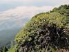 Potentilla fruticosa (between Sauk Mountain trailhead and Sauk Mountain, Mount Baker-Snoqualmie Natonal Forest, Washington)