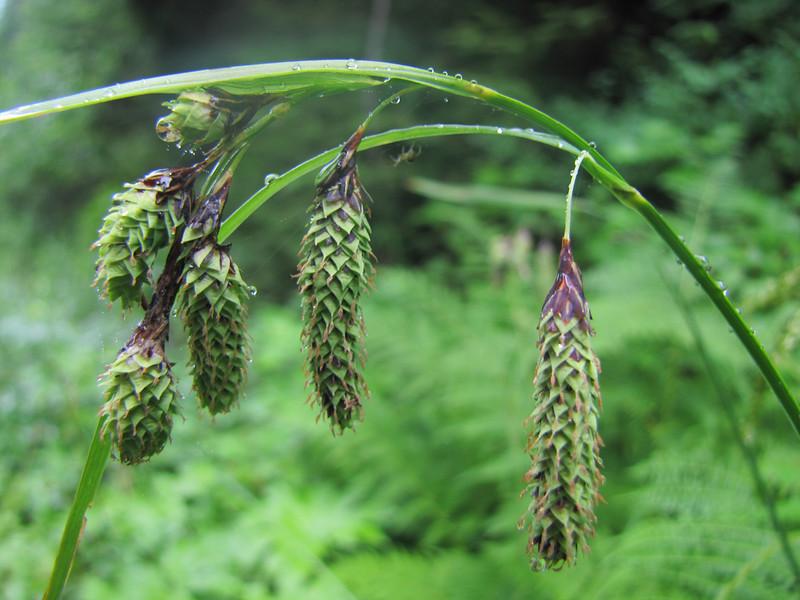 Carex?? Skyline Divide Trail, near Mount Baker, Washington)