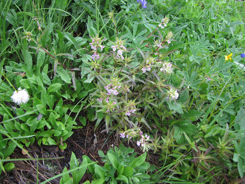 Pedicularis racemosa (near Skyline Divede Trail, near Mount Baker, Washington)