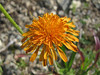Agoseris aurantiaca (between Sauk Mountain trailhead and Sauk Mountain, Mount Baker-Snoqualmie Natonal Forest, Washington)