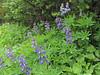 Lupinus spec. (Between trailhead Skyline Divede Trail and Skyline Divide Trail, near Mount Baker, Washington)