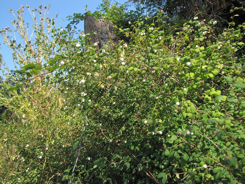 Symphoricarpos albus (Bay View, Washington) (Bayview, NW of Mount Vernon, Washington)