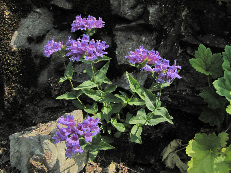 Penstemon ovatus  (between Sauk Mountain trailhead and Sauk Mountain, Mount Baker-Snoqualmie Natonal Forest, Washington)