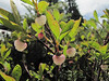Vaccinium spec. (Ptarmigan Trail, Mount Baker, Washington)