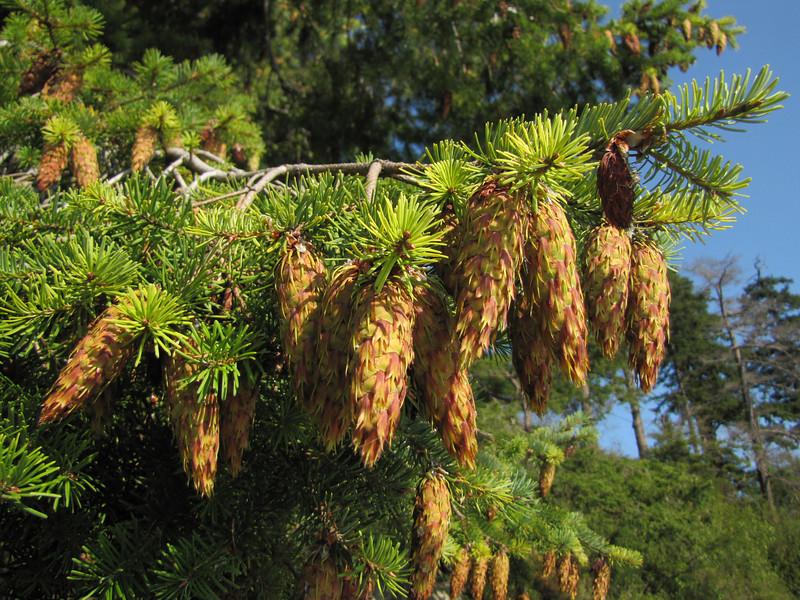 Cones of Pseudotsuga menziesii (Bayview, NW of Mount Vernon, Washington)