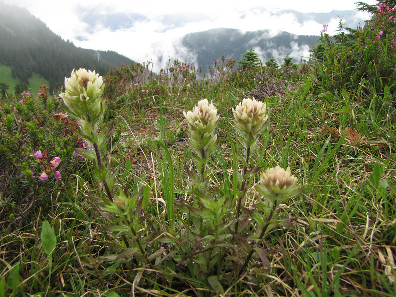 Castilleja parviflora var. albiflora (Skyline Divide Trail, near Mount Baker, Washington)