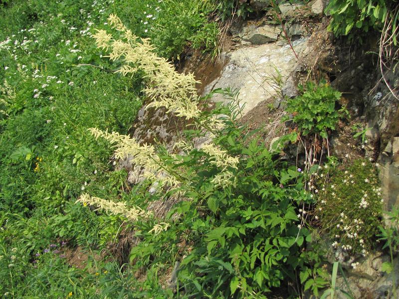 Aruncus dioicus (syn. Aruncus sylvestris) Goatsbeard (between Sauk Mountain trailhead and Sauk Mountain, Mount Baker-Snoqualmie Natonal Forest, Washington)