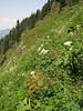 Aquilegia formosa (between Sauk Mountain trailhead and Sauk Mountain, Mount Baker-Snoqualmie Natonal Forest, Washington)