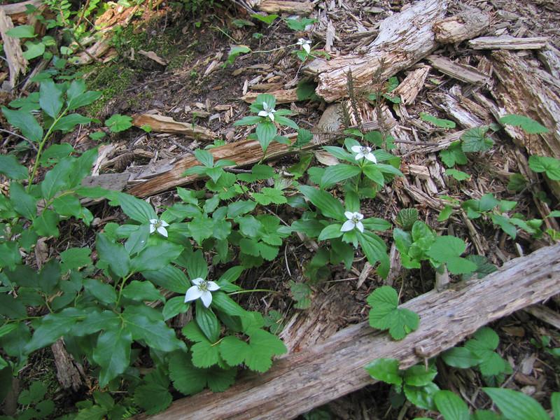 Cornus canadensis (between Sauk Mountain trailhead and Sauk Mountain, Mount Baker-Snoqualmie Natonal Forest, Washington)