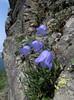 Campanula rotundifolia (between Sauk Mountain trailhead and Sauk Mountain, Mount Baker-Snoqualmie Natonal Forest, Washington)