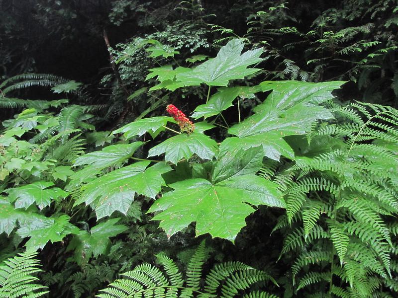 Oplopanax horridus (On the way back from trailhead Skyline Divide Trail, Mount Baker area, Washington)