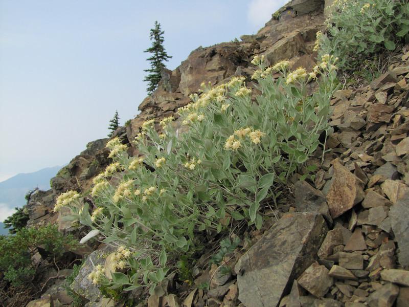 habitat of Luina hypoleuca  (Sauk Mountain, Mount Baker-Snoqualmie Natonal Forest, Washington)