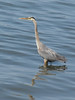 Ardea herodias, Great Blue Heron (near Annacortes, Washington)