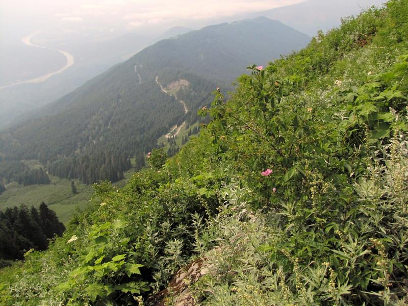 habitat of Rosa nutkana (between Sauk Mountain trailhead and Sauk Mountain, Mount Baker-Snoqualmie Natonal Forest, Washington)