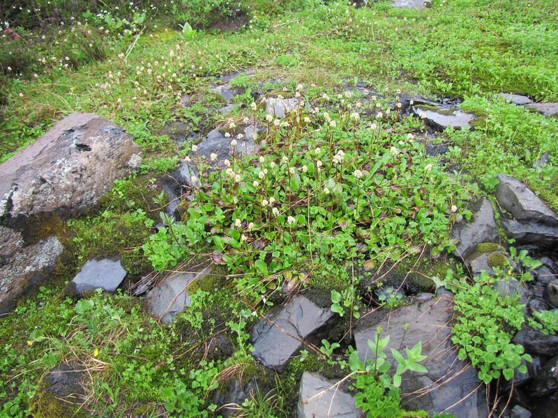 wet habitat of Leptarrhena pyrolifolia (near Skyline Divide Trail, near Mount Baker, Washington)