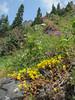 Sedum divergens, note the opposite leaves (between Sauk Mountain trailhead and Sauk Mountain, Mount Baker-Snoqualmie Natonal Forest, Washington)