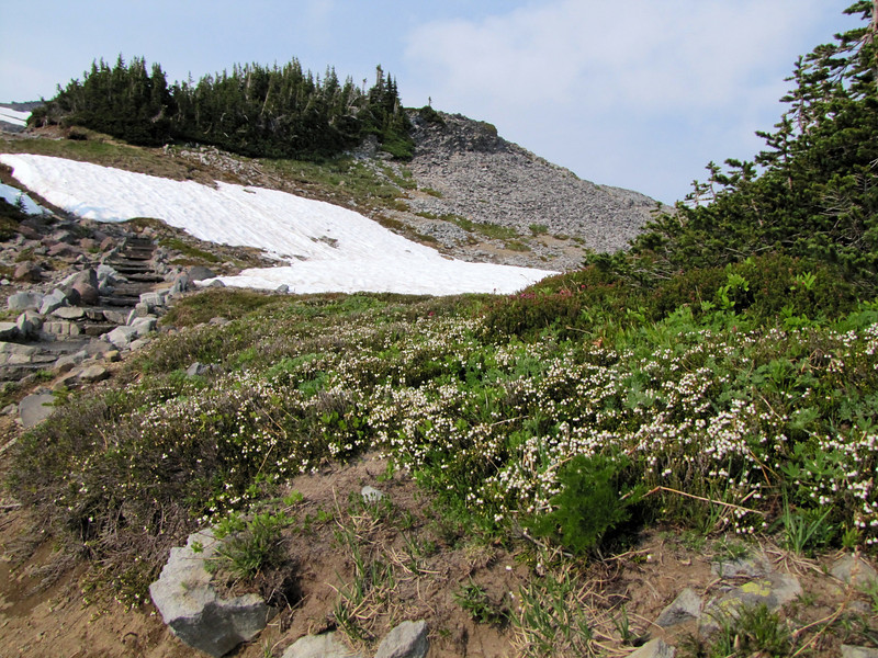 habitat of Cassiope mertensiana var. mertensiana (Skyline Trail, Mount Rainier National Park, Washington)