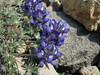 Lupinus lepidus var. lobbii (Skyline Trail, Mount Rainier National Park, Washington)