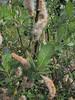 Salix spec. Paradise, Mount Rainier NP, Skyline Trail
