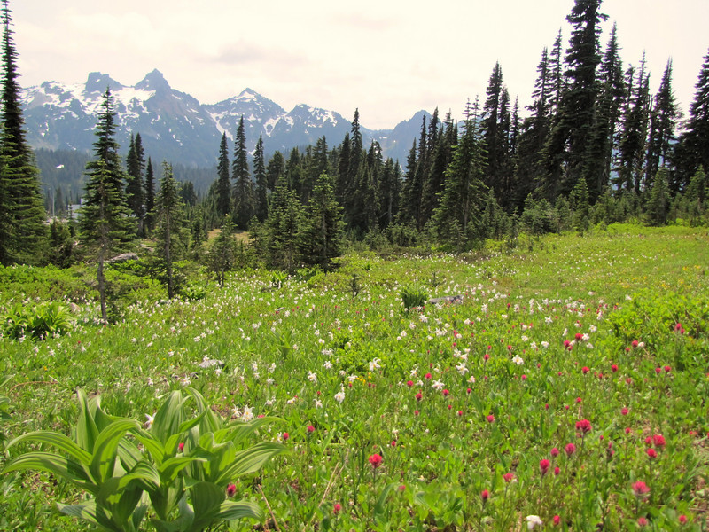 habitat of Castilleja parviflora (Magenta paintbrush) and Erythronium montanum, (Avalanche lily) (Paradise, Mount Rainier, Washington)