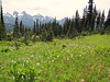 habitat of Castilleja parviflora (Magenta paintbrush) and Erythronium montanum, (Avalanche lily) (Paradise, Mount Rainier, Washington)