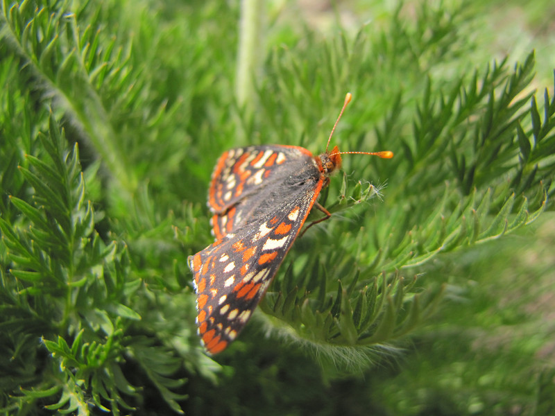 Euphydryas editha, Edith's Checkerspot (southfacing slope under Sunrise Ridge, Sunrise, Mount Rainier National Park, Washington)