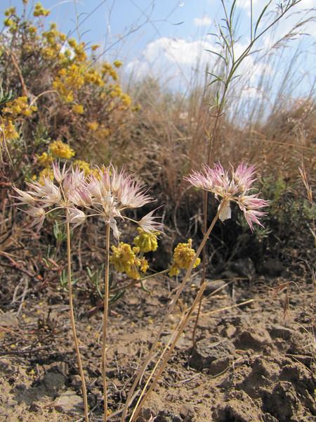 Allium spec. (near Yakima ridge, Interstate 82, Washington)