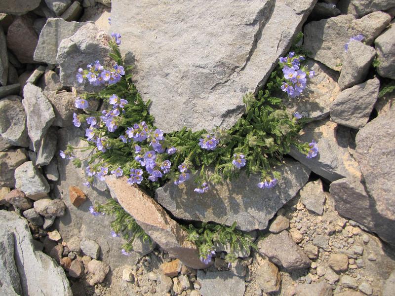 Polemonium elegans (Skyline Trail, Mount Rainier National Park, Washington)