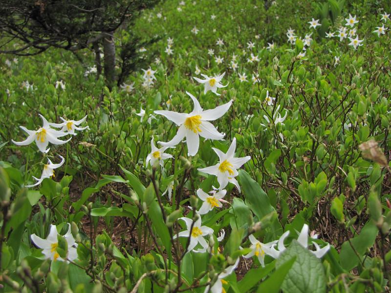 Erythronium montanum (Mount Rainier, Washington)