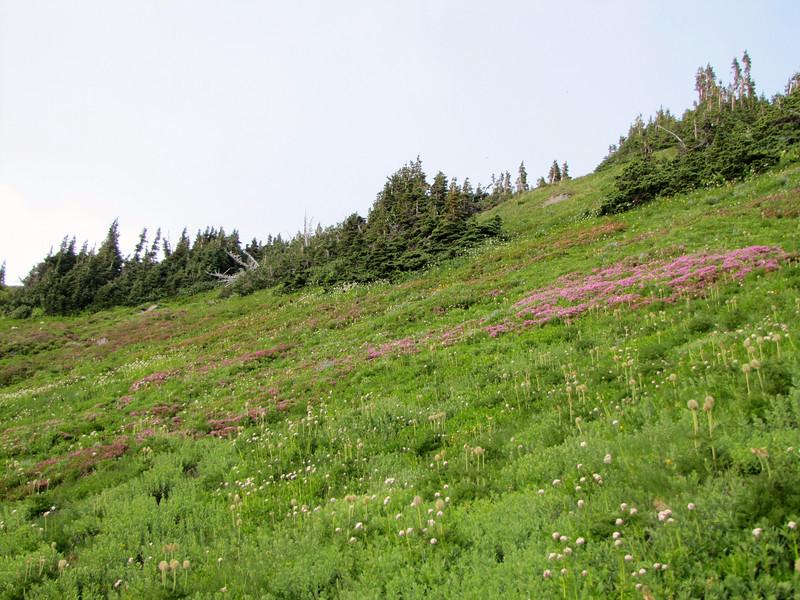 Habitat of Phyllodoce empetriformis and Anemone occidentalis (in seed)(Paradise, Mount Rainier, Washington)
