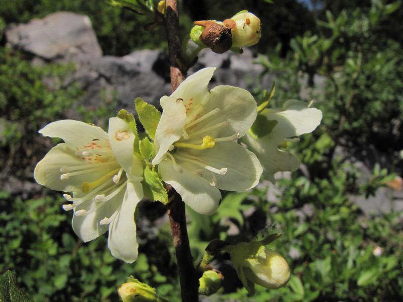Rhododendron albiflorum var. albiflorum in woodland (Paradise near entrance of Mount Rainier National Park, Washington)