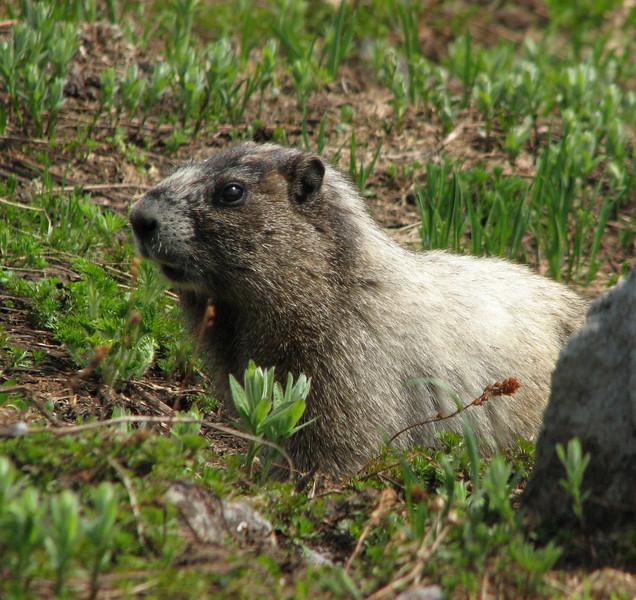 Marmota caligata, hoary marmot, Paradise, Mount Rainier NP, Skyline Trail (photo Kees Jan)