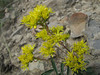 Sedum lanceolatum? (Eastern extension of the Wenatchee Mountains, dirt road from Blewett Pass, near Mission Ridge Ski Area, Washington)