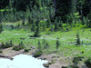 Abies lasiocarpa and Erythronium montanum (Paradise, Mount Rainier, Washington)