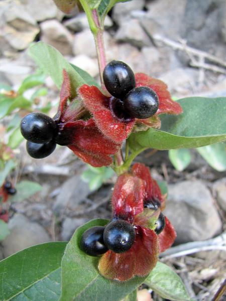 Lonicera involucrata in fruit (Eastern extension of the Wenatchee Mountains, dirt road from Blewett Pass 1230m near Mission Ridge Ski Area, Washington)