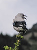 Nucifraga columbiana, Clarcks Nutcracker  (Sunrise, Mount Rainier National Park, Washington)