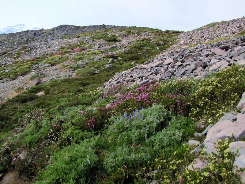 heathland habitat, Mount Rainier NP, Skyline Trail