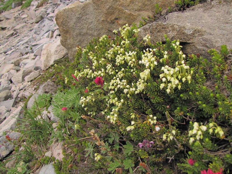 Phyllodoce glanduliflora (Skyline Trail, Mount Rainier National Park, Washington)