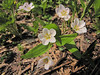 Claytonia spec. (Paradise, Mount Rainier, Washington)