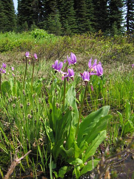 Dodecatheon jeffreyi ssp. jeffreyi (Paradise, Mount Rainier, Washington)