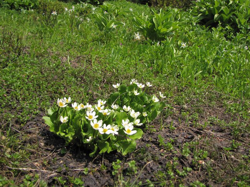 Caltha leptosepala ssp. howellii (Paradise, Mount Rainier, Washington)