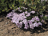 Phlox diffusa ssp. longistylis (Sunrise, Mount Rainier National Park, Washington)