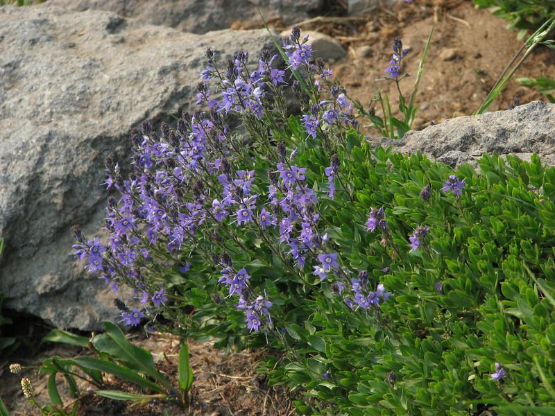 Veronica cusickii or Veronica wormskjoldii (Paradise, Mount Rainier, Washington)