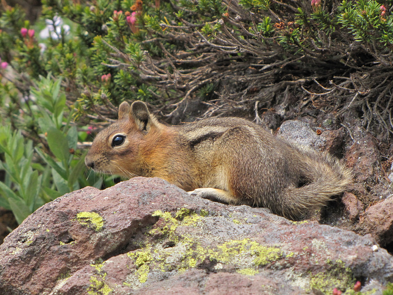 Spermophylus lateralis, Golden Mantled Ground Squirrel, Paradise, Mount Rainier NP, Skyline Trail