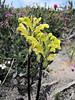 Pedicularis spec. (Skyline Trail, Mount Rainier National Park, Washington)