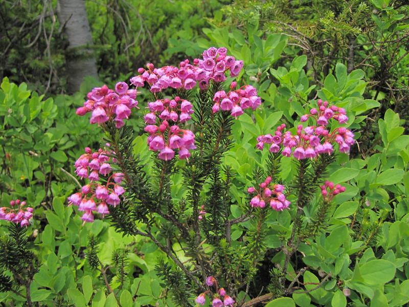Phyllodoce empetriformis (Paradise, Mount Rainier, Washington)
