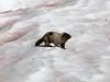 Marmota caligata, hoary marmot, and the red Chlamydomonas nivalis, Watermelon snow, a species of green algae, Mount Rainier NP, Skyline Trail